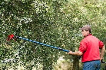raccolta olive con brucatura a mano