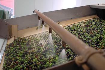 lavorazione-olive-350