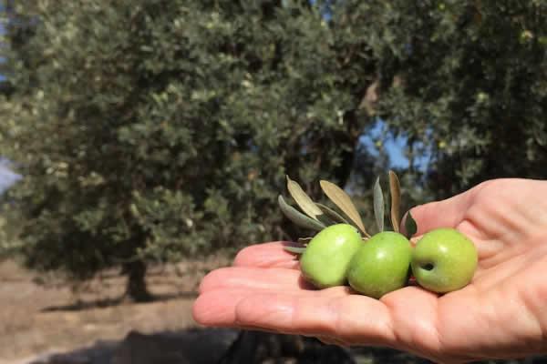 olio di oliva biologico niscia